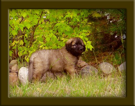 A Leonberger puppy is standing in front of a line of stones at the edge of woods looking to the right.