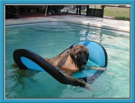 A wet Leonberger is laying on a floatie in a pool.