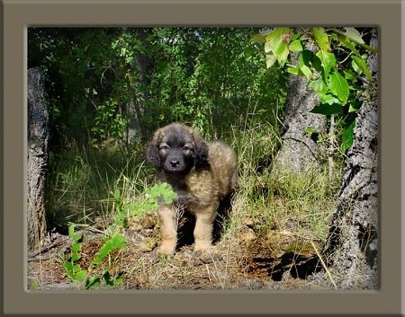 A fluffy little Leonberger puppy is standing in the woods in grass in between three trees.