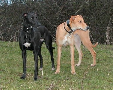 A black with white Lurcher is standing next to a tan with white Lurcher in grass and looking to the left.