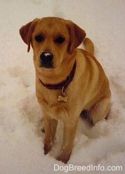 A yellow Labrador Retriever is sitting in snow and looking up. There is snow on its nose.