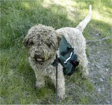 A curly-coated brown Lagotto Romagnolo is wearing a green carrying harness standing in grass and it is looking forward.