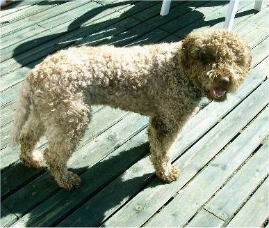 A smiling, curly brown Lagotto Romagnolo is standing on a wooden deck and its mouth is open.