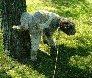 A curly coated brown Lagotto Romagnolo is peeing on a tree.