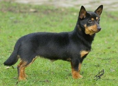 Side-view - A short-legged black with tan Lancashire Heeler dog is standing in grass and looking forward.