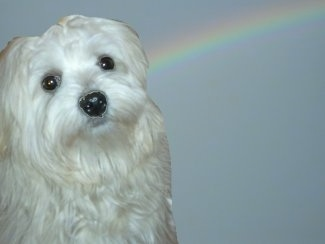 A composited image of a white Lowchen sitting and the background is a rainbow across a sky.