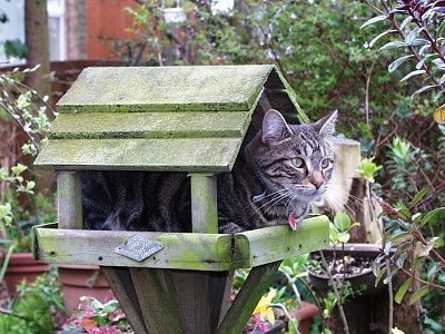 Max the Cat is laying inside of a wooden bird feeder that is shaped like a small house
