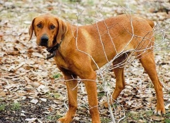 side view - A large-breed, red Rottweiler/Red-Tick Coonhound mix is standing in grass covered in leaves in front of a leafless bush.