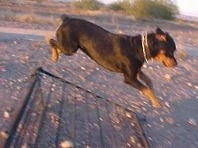Maggie the Rottweiler is jumping over a fence outside