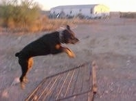 Side View of Maggie the Rottweiler beginning to jump.
