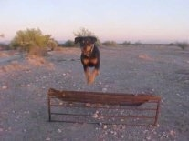 Maggir the Rottweiler jumping over a metal grate