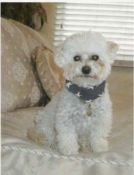 A curly-coated, white Malti-poo is sitting on a human's bed and looking forward wearing a bandana with white stars on it in front of a window with closed white blinds.