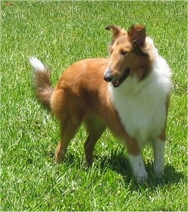 Manny the tan and white Collie is standing in very green grass looking to the left