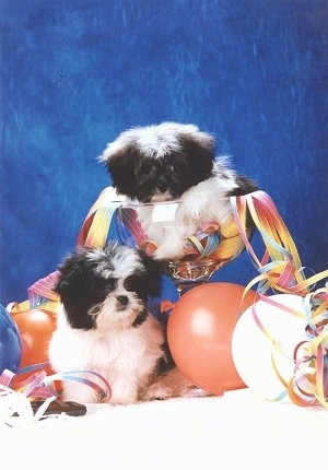 A white and black Mi-ki puppy is sitting in a tall large glass cup with colorful rainbow strings coming out of it. There is a second Mi-ki puppy sitting under it and looking down at the balloons next to it on a white surface and a blue background.