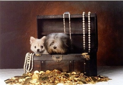 A smooth coat and long coat Mi-ki are sitting in side of a treasure chest with a pile of gold coins in front of it and pearl necklaces hanging on the open lid behind the dogs and in the front left corner of the chest.