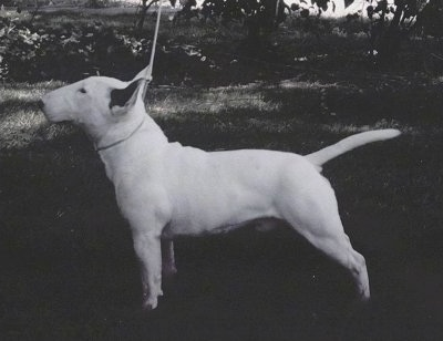 Bull Terriers and Miniature Bull Terriers