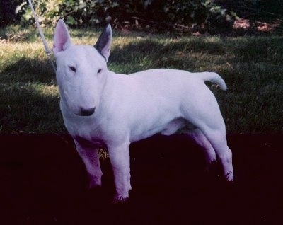 Bull Terrier and Miniature Bull Terrier