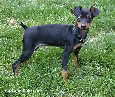 Side view - A black and tan Miniature Pinscher Puppy is standing in grass and it is looking to the right of its body. It has a black leather spike collar on that is a tad too large for its neck.