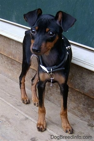 A black and tan Miniature Pinscher puppy is standing in front of a doorway on a wooden deck looking forward.