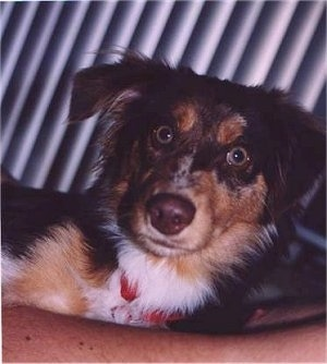 Close up head shot - A merle brown with tan and white Miniature Australian Shepherd is laying on a persons chest