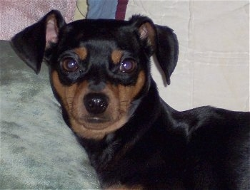 Close up head shot - A black and tan Miniature Pinscher Puppy is laying on a mint green couch. Its head is near the arm of the couch.