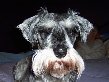 Close up front view head shot - A black with tan Miniature Schnauzer is laying on a bed and its eyes are closed.