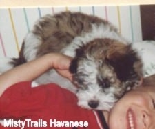 A brown and white Havanese puppy is laying on the neck of a smiling boy.