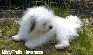 A white with grey Havanese is laying in grass in front of a wire fence looking back.