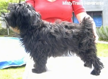 A black Havanese puppy is standing on a table. There is a lady in a red shirt posing the puppy in a show stack pose.