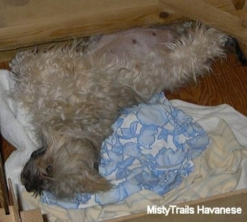 Whelping And Raising Puppies Pregnant Dams Breeding Dogs