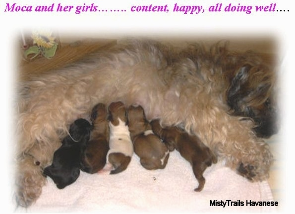 Five puppies are feeding off of their tan furry mother who is laying down on her side in front of them.