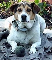 View from the front - A tricolor white with tan and black Mountain Feist dog is laying on a gray blanket outside on a porch with a toy ball between its front paws.