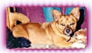 Right Profile - A large bat-eared tan with white Mountain Feist is laying on a couch with its tail curled over its back.