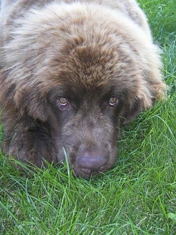 Front view head shot - A large, furry, brown Newfoundland puppy is laying in grass looking up. It looks like a bear.