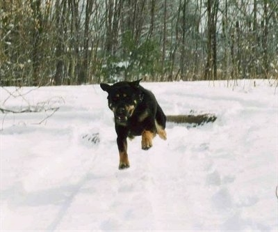Nova the dog running through snow with all 4 paws on the ground