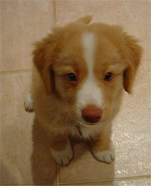 Nova Scotia Duck-Tolling Retriever Puppy Dogs