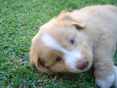 Close up head and upper body shot of a puppy laying on its side - A tan with white Nova Scotia Duck-Tolling Retriever puppy is laying outside in grass and it is looking forward. Its nose is brown.