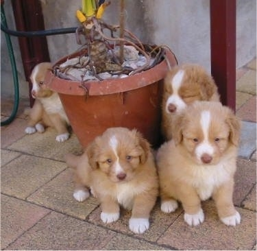 A litter of four Nova Scotia Duck-Tolling Retriever puppies are sitting around a potted plant. Three are sitting outside on a flagstone patio in front of the plant and one is sitting behind it.