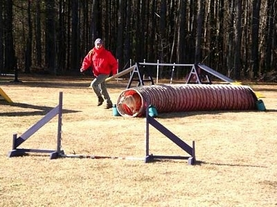 A tan with white Norwegian Buhund dog is coming out of an agility tube that it is running through. There is a person dressed in a red coat and blue jeans running the course with it.