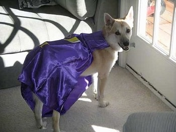 Back side view - A tan with white Norwegian Buhund dog is wearing a shiny purple cape  standing in front of a door that has the sun shining in looking back at the camera.