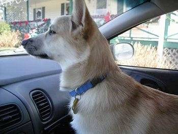 Side view - A tan with white Norwegian Buhund puppy is wearing a blue collar standing in the passenger side of a vehicle looking out of the front windshield.