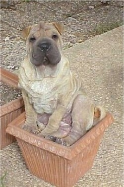 A very wrinkly, extra skinned, square headed, tan with black Ori Pei is sitting in an outside clay flower pot looking up. Its head is slightly tilted to the left and its eyes are squinty. It has small rose ears.