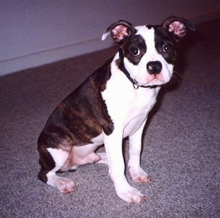 Side view - A brown brindle with white Olde Boston Bulldogge puppy is sitting on a carpet with its head turned towards the camera.