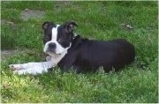 Side view - A black with white Olde Boston Bulldogge is laying in grass looking towards the camera.