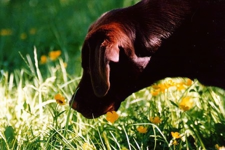 Close up head shot - A chocalate Labrador Retriever is sniffing yellow buttercups in tall grass
