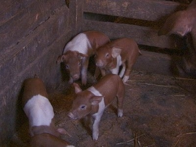 Five Piglets are standing against the wooden wall of a barm stall.