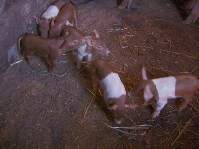 A line of Piglets are standing on top of dirt. Two Piglets are standing in dirt. Two Piglets are looking to the right. One Piglet is looking at the ground and next to it is a Piglet is looking at the side of another Piglet.