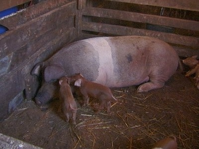 A huge adult pig in a barn stall with its babies - There is a black with pink pig laying in the corner of its enclosure. There are two piglets sniffing the piglets ears. There is a piglet laying behind the Pig.