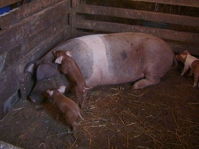 A large pig and its babies in a barn stall. There is a black with pink pig laying in the corner of its enclosure. There is a piglet climbing on the back of a pig and another piglet at the face of the pig and one at the back of a piglet.