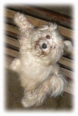 A small longhaired, tan dog is standing up on its hind legs and against a small wooden wall and it is looking up.